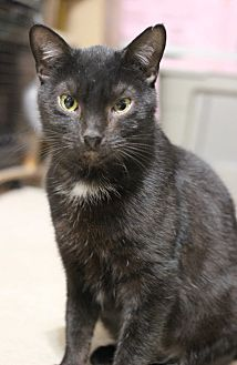 Domestic Shorthair Cat for adoption in Carlisle, Pennsylvania - Cole