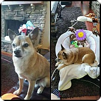 Adopt A Pet :: Foxy Lady- Very Affectionate - Quentin, PA