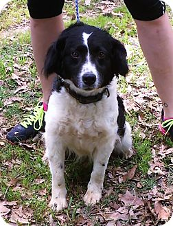 Border Collie Mix Dog for adoption in Hagarstown, Maryland - Shelby