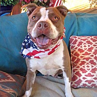 American Staffordshire Terrier Mix Dog for adoption in Toluca Lake, California - Libby
