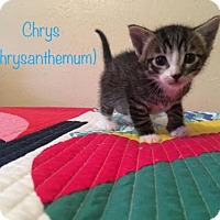 Adopt A Pet :: Chrys 17-0087 - Richardson, TX
