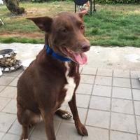 Adopt A Pet :: Angel Lynn - Coos Bay, OR