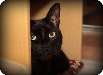 Domestic Shorthair Cat for adoption in Glen Mills, Pennsylvania - Phoebe