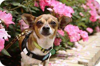 Chihuahua Mix Dog for adoption in Portland, Oregon - Marky Mark