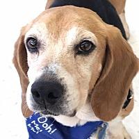 Beagle Dog for adoption in Fairfax, Virginia - Branch *Adopt or Foster*