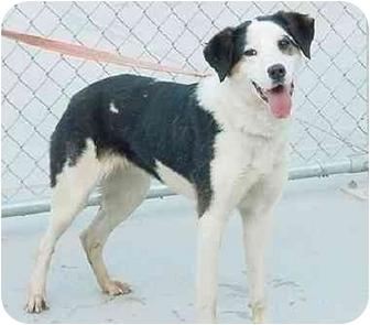 Border Collie/Dalmatian Mix Dog for adoption in Austin, Minnesota - Stella