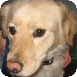 Golden Retriever Mix Dog for adoption in Berkeley, California - Sasha