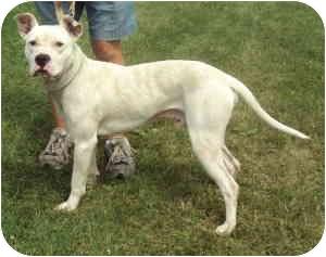 Dogo Argentino Dog for adoption in Virginia Beach, Virginia - Canyon
