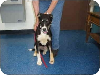 """Shepherd (Unknown Type) Mix Dog for adoption in MARION, Virginia - """"Missy"""""""