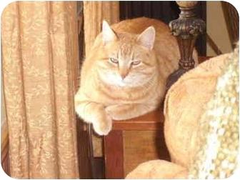 Domestic Shorthair Cat for adoption in Morris, Pennsylvania - Sonny