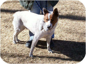 Australian Cattle Dog Mix Dog for adoption in Santa Fe, New Mexico - Marty *Courtesy Post*