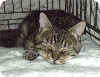Domestic Shorthair Cat for adoption in Maple Ridge, British Columbia - Vern