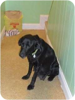 Labrador Retriever Mix Dog for adoption in Marlton, New Jersey - Treasure