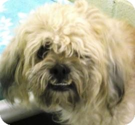 Lhasa Apso Mix Dog for adoption in Bloomfield, Connecticut - Haystack