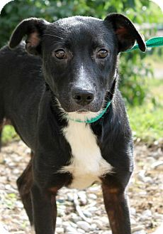 Labrador Retriever/Border Collie Mix Puppy for adoption in Cincinnati, Ohio - Caryn: Maysville