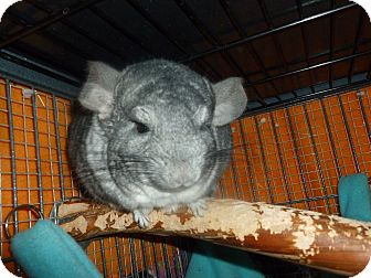 Chinchilla for adoption in Jacksonville, Florida - Hope