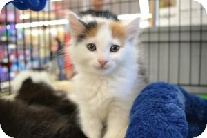 Domestic Mediumhair Kitten for adoption in Kelso/Longview, Washington - Willow