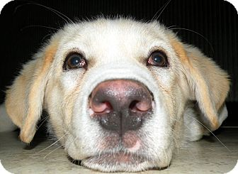 Great Pyrenees/Labrador Retriever Mix Puppy for adoption in Tulsa, Oklahoma - Chase  *Adopted