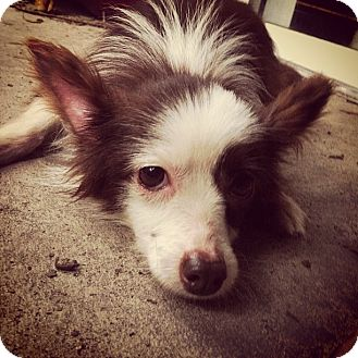 Australian Shepherd Mix Dog for adoption in Gainesville, Florida - Nina
