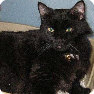 Domestic Mediumhair Cat for adoption in Denver, Colorado - Jefferson