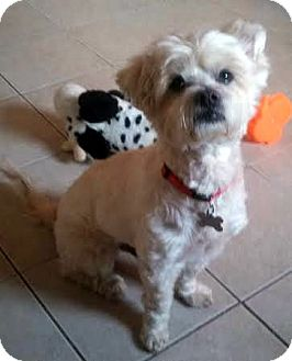 Shih Tzu/Maltese Mix Dog for adoption in Wappingers, New York - J.C
