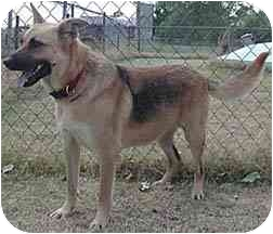 German Shepherd Dog Dog for adoption in Blanchard, Oklahoma - Precious