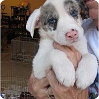 Adopt A Pet :: Zeus - CHESTERFIELD, MI