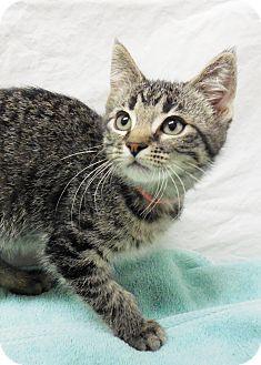 Domestic Shorthair Kitten for adoption in Buena Vista, Colorado - Bellini