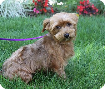 Yorkie, Yorkshire Terrier Mix Dog for adoption in Newport Beach, California - NORA