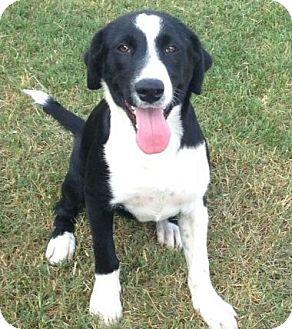 Border Collie/Labrador Retriever Mix Dog for adoption in CHAMPAIGN, Illinois - SYLVESTER