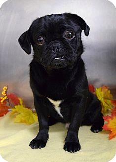Pug Mix Dog for adoption in Dublin, California - Ferdinand