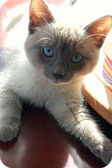 Domestic Shorthair Kitten for adoption in Knoxville, Tennessee - Kate