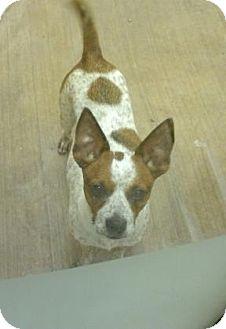 Blue Heeler Mix Dog for adoption in Parma, Ohio - Cloe