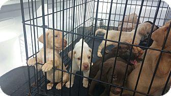 Labrador Retriever Mix Puppy for adoption in East Hampton, New York - baby labx puppies