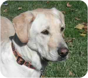 Labrador Retriever Dog for adoption in Provo, Utah - Chief