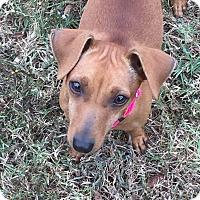 Adopt A Pet :: MOLLY - CHAMPAIGN, IL