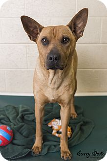 Shar Pei Mix Dog for adoption in Greensburg, Pennsylvania - Missy