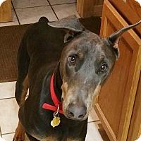 Adopt A Pet :: Blue - New Richmond, OH