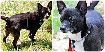 Chihuahua Dog for adoption in Forked River, New Jersey - Beanie