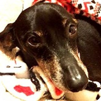 Dachshund Dog for adoption in Houston, Texas - Carter Callaway