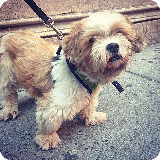 Shih Tzu Dog for adoption in New York, New York - Alvin
