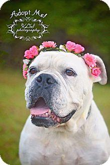 American Bulldog Dog for adoption in Fort Valley, Georgia - Magnolia