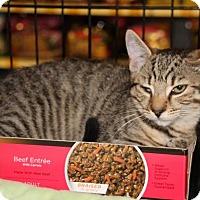 American Shorthair Kitten for adoption in Hazlet, New Jersey - Simone