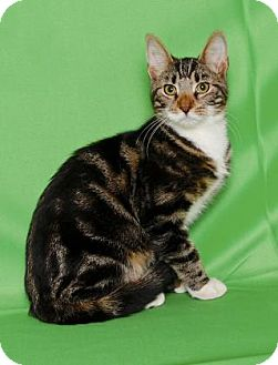 Domestic Shorthair Cat for adoption in Gloucester, Virginia - MALLOMAR