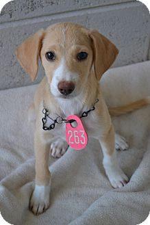 Labrador Retriever Mix Puppy for adoption in Beaumont, Texas - Lilly