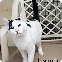 Adopt A Pet :: Lamb - Shelton, WA