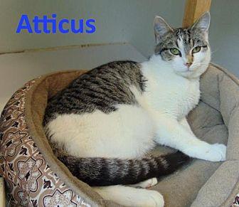 Domestic Shorthair Cat for adoption in Mountain View, Arkansas - Atticus