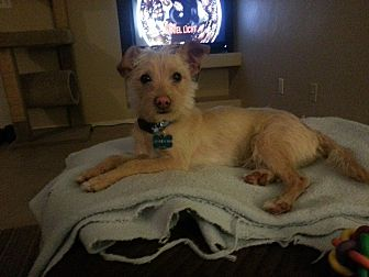 Terrier (Unknown Type, Small) Mix Dog for adoption in Gilbert, Arizona - Bandon