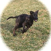 Adopt A Pet :: Harley - Ijamsville, MD