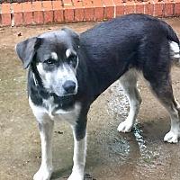 Husky/Labrador Retriever Mix Dog for adoption in Courtland, Alabama - Pidge